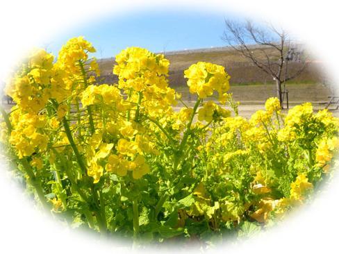 堰堤下の菜の花