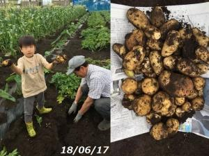 梅雨の合間のジャガイモ掘り