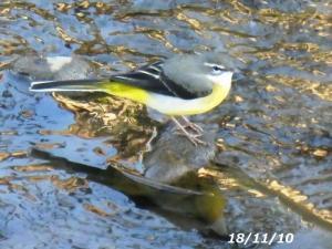 秋 空堀川の野鳥