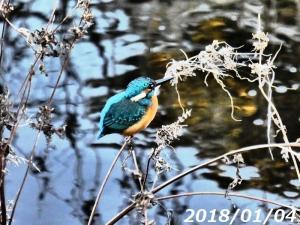 空堀川・近況カワセミとアオサギ