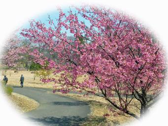 狭山公園の桜、今が見ごろ