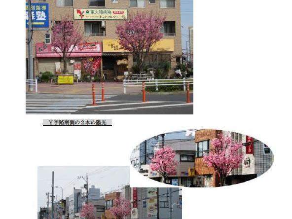 東大和市駅前北側「26号線と大和通りの分岐点」の桜咲く