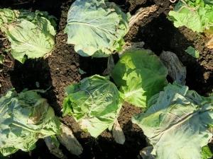 白菜の防寒対策