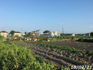 やすじぃの農園 早朝作業